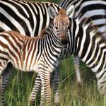 safari_17