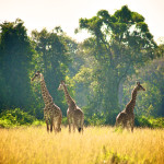 safari_50