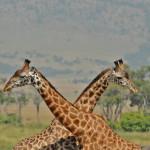 safari_6
